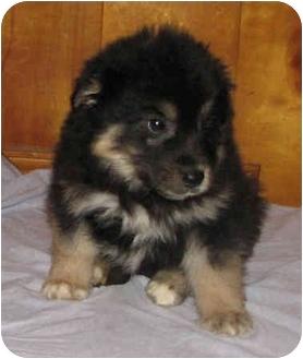 German Shepherd Dog/Bernese Mountain Dog Mix Puppy for adoption in Brattleboro, Vermont - Bobby