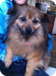 Pomeranian/Corgi Mix Dog for adoption in Encino, California - Norman