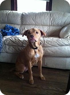 American Pit Bull Terrier Mix Dog for adoption in Louisville, Kentucky - Bella (Courtesy Post)