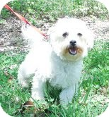 Maltese/Poodle (Miniature) Mix Dog for adoption in Foster, Rhode Island - Gracie