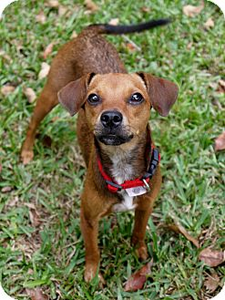 Dachshund/Chihuahua Mix Dog for adoption in Baton Rouge, Louisiana - KiKi