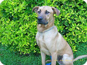 Labrador Retriever/Rhodesian Ridgeback Mix Dog for adoption in Newport Beach, California - CHARLIE