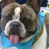 Adopt A Pet :: Camo AKC purebred - Sacramento, CA