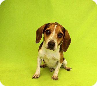 Beagle Mix Dog for adoption in Seville, Ohio - Mickey