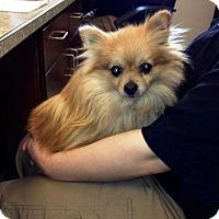 Adopt A Pet :: Pookey - Shawnee Mission, KS