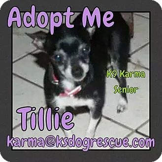 Chihuahua Dog for adoption in Cheney, Kansas - Tillie