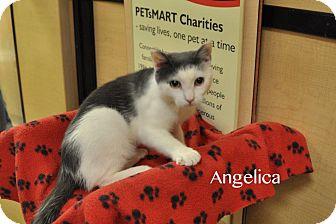 Domestic Shorthair Kitten for adoption in Levittown, New York - Angelica