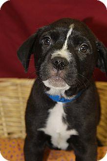 Labrador Retriever Mix Puppy for adoption in Waldorf, Maryland - Zed