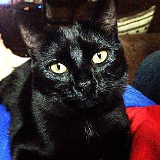 Domestic Shorthair Cat for adoption in Baton Rouge, Louisiana - Sophia