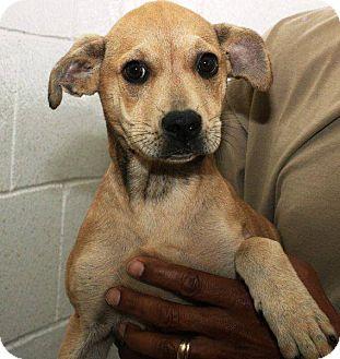 Shar Pei Mix Puppy for adoption in McDonough, Georgia - CASEY