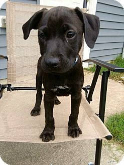 Labrador Retriever Mix Puppy for adoption in Waldorf, Maryland - Kuzac