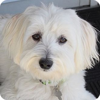 Bichon Frise Mix Dog for adoption in La Costa, California - Toby