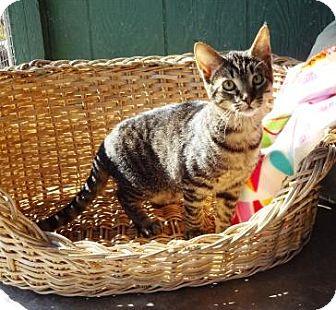 Domestic Shorthair Cat for adoption in Lathrop, California - Elliot