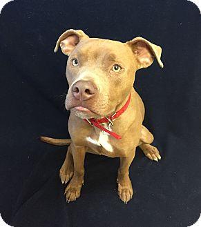 Pit Bull Terrier Mix Dog for adoption in Chino Valley, Arizona - Dozer