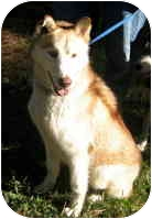 Siberian Husky Mix Dog for adoption in Houston, Texas - Cloud Dancer