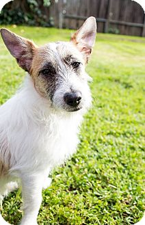 Jack Russell Terrier Mix Puppy for adoption in Lincoln, California - Milo