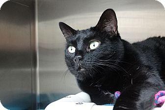 Domestic Shorthair Cat for adoption in Elyria, Ohio - Mrs. Flufflas