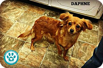 Chihuahua/Dachshund Mix Dog for adoption in Kimberton, Pennsylvania - Daphne