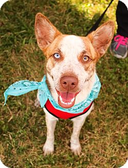 Australian Shepherd/Australian Cattle Dog Mix Dog for adoption in San Antonio, Texas - Lucy