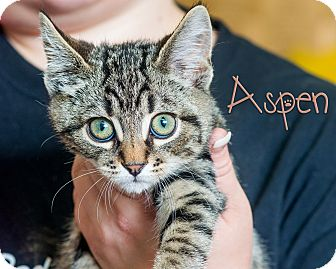 Domestic Shorthair Kitten for adoption in Somerset, Pennsylvania - Aspen