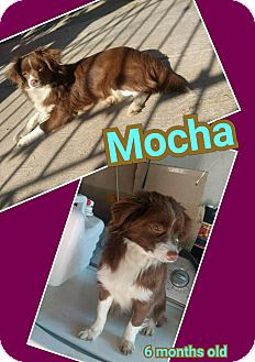 Border Collie/Spaniel (Unknown Type) Mix Puppy for adoption in LAKEWOOD, California - Mocha