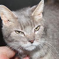 Domestic Shorthair Cat for adoption in Marietta, Ohio - Heather Rose