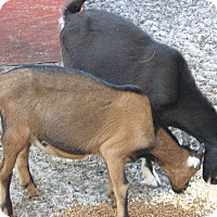 Adopt A Pet :: Goats (2-M) - Christmas, FL