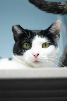 Domestic Shorthair/Domestic Shorthair Mix Cat for adoption in Manteo, North Carolina - Holly