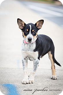 Cattle Dog/Australian Shepherd Mix Puppy for adoption in Marietta, Georgia - Tac