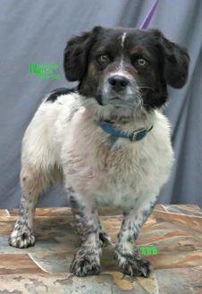Corgi/Spaniel (Unknown Type) Mix Dog for adoption in Fairfax Station, Virginia - Baron