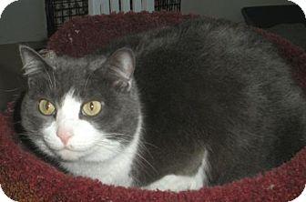 British Shorthair Cat for adoption in Washington, Virginia - Brooke