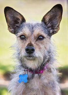 Terrier (Unknown Type, Medium) Dog for adoption in El Cajon, California - Trixie