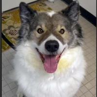 Adopt A Pet :: Laser - Fairfax Station, VA