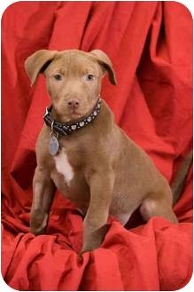 Labrador Retriever/Vizsla Mix Puppy for adoption in Portland, Oregon - Hershel