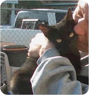 Domestic Shorthair Cat for adoption in Plaquemine, Louisiana - Will