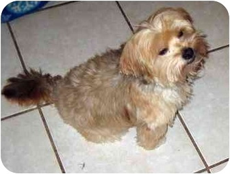 Yorkie, Yorkshire Terrier/Shih Tzu Mix Dog for adoption in Conroe, Texas - Rory