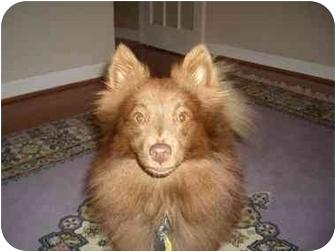 Pomeranian Mix Dog for adoption in conroe, Texas - Mocha