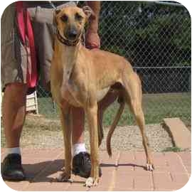 Greyhound Dog for adoption in Oak Ridge, North Carolina - Ozzie