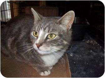 Domestic Shorthair Cat for adoption in East Stroudsburg, Pennsylvania - Zina