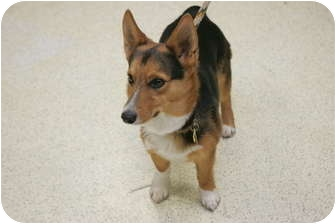 Pembroke Welsh Corgi Mix Dog for adoption in Inola, Oklahoma - Wee Man