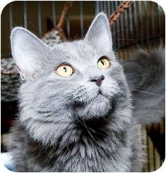 Domestic Mediumhair Cat for adoption in Sacramento, California - Uli