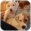 Photo 2 - Hound (Unknown Type)/Beagle Mix Puppy for adoption in Marlton, New Jersey - Charlie