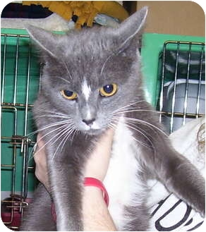 Domestic Shorthair Cat for adoption in Somerset, Pennsylvania - Judy