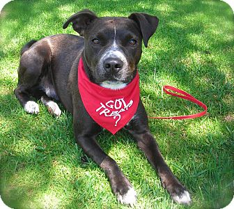 American Pit Bull Terrier Mix Dog for adoption in El Cajon, California - Reggie