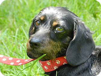 Dachshund Mix Dog for adoption in Centerville, Tennessee - Carly