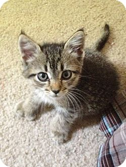 Hemingway/Polydactyl Kitten for adoption in Bentonville, Arkansas - Fergie
