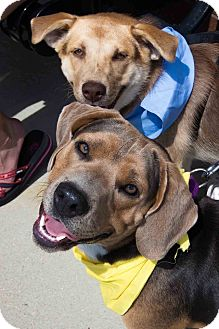Beagle/Basset Hound Mix Dog for adoption in Cincinnati, Ohio - Luke