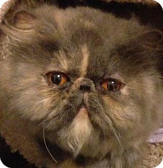 Persian Cat for adoption in Beverly Hills, California - Jillian