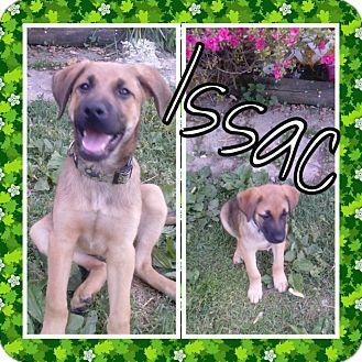 Shepherd (Unknown Type) Mix Puppy for adoption in ST LOUIS, Missouri - Isaac
