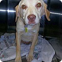 Adopt A Pet :: Honeysuckle - Staunton, VA